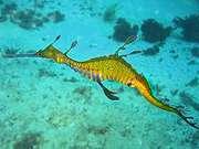 200px_phyllopteryx_taeniolatus1